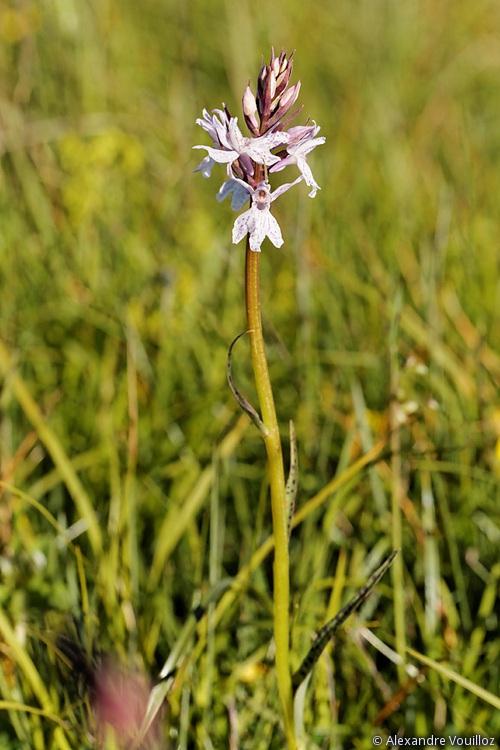 Dactylorhiza des Alpes et du Jura 123_2012-06-22_5DmII
