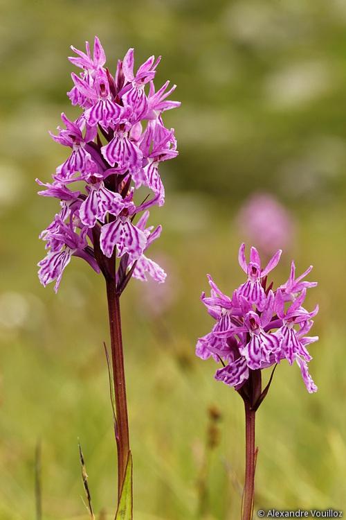 Dactylorhiza savogiensis 056_2012-08-04_5DmII